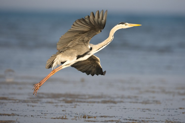 Grey Heron, Benguerra islands, Mozambico