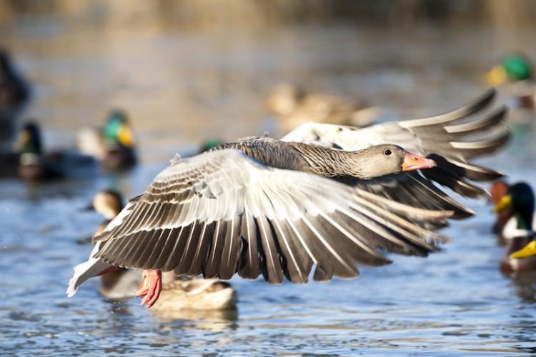 Greylag Goose, Marano Lagunare, Italy