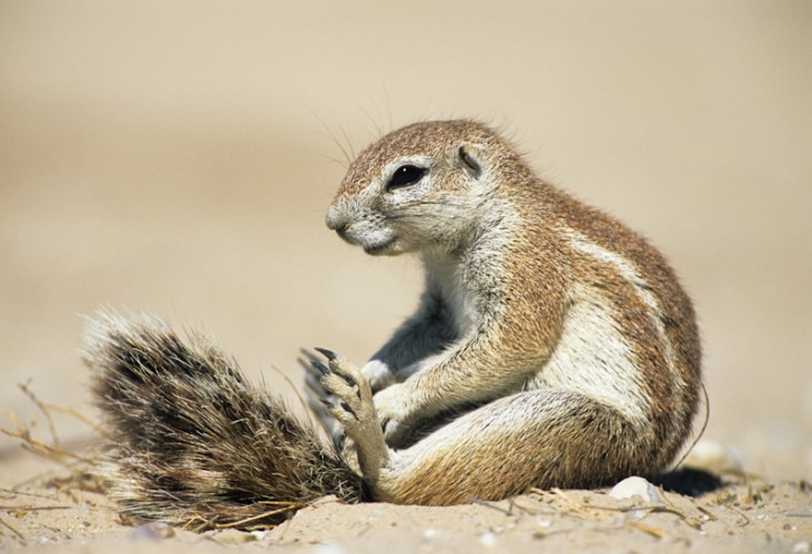 Ground Squirrell, Kgalagadi T.P.,South Africa