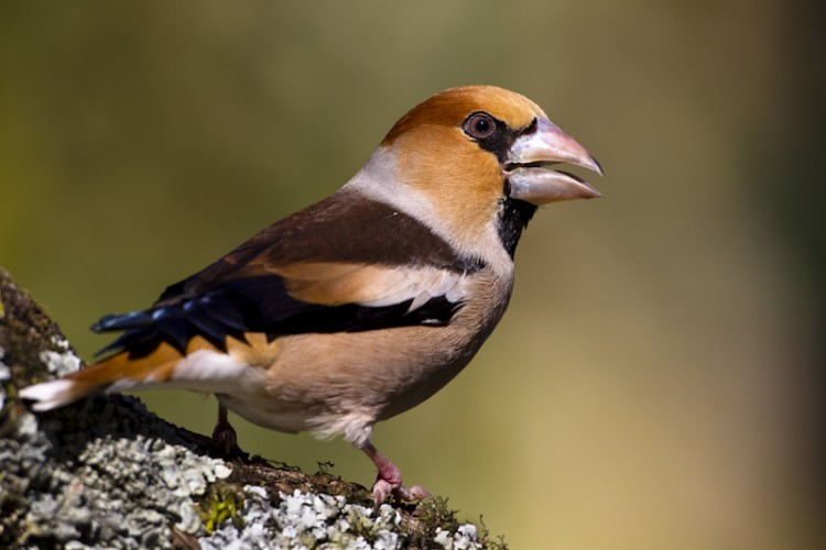 Hawfinch, Carso, Italy