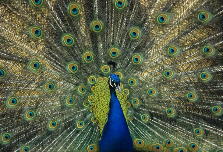 Indian Peafowl, Nepal