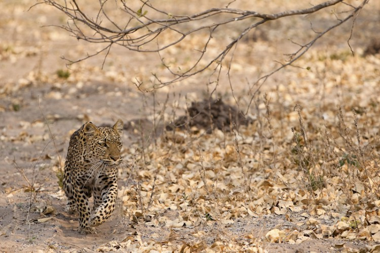 Leopard's path, Savuti, Botswana