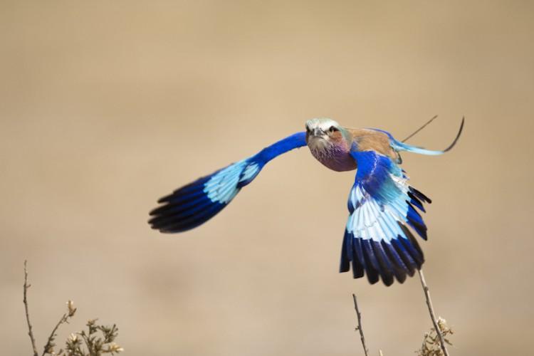 Lilac Breasted Roller, Savuti, Botswana