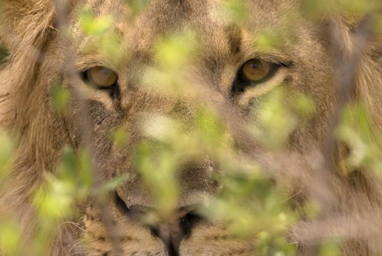 Lion, Hwange N.P., Zimbabwe