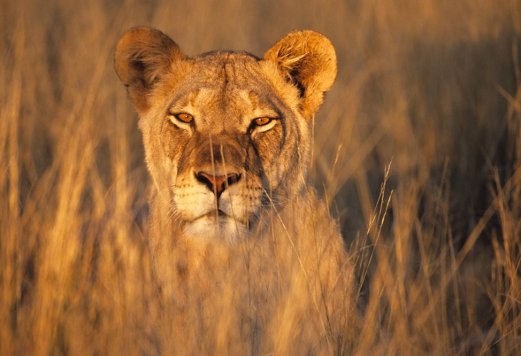 Lioness, Kgalagadi T.P., South Africa