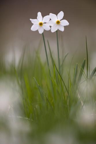 Narcisus radiflorus, Carso (Trieste), Italy