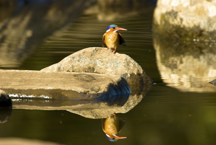 Malachite Kingfisher (Alcedo cristata ), Kruger N.P., South Africa