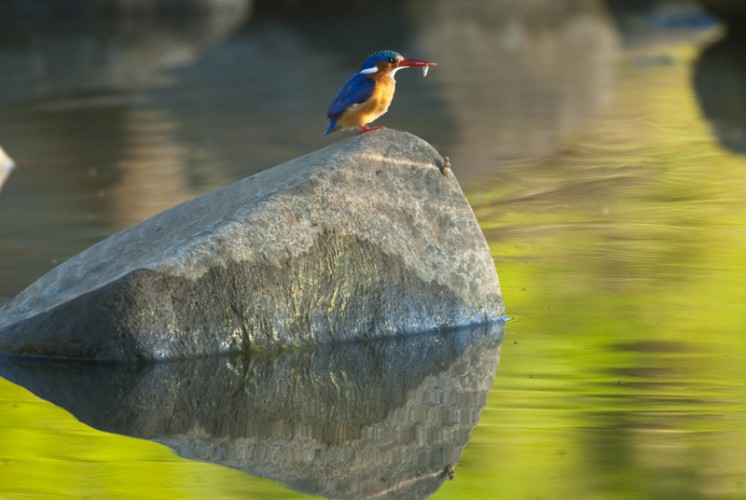 Malachite Kingfisher, Kruger Park, South Africa