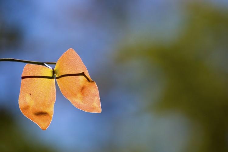 Mopane leaf, Matopos N.P., Zimbabwe