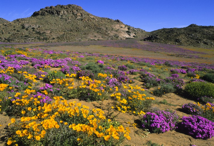 Namaqua Colors, Namaqualand, South Africa