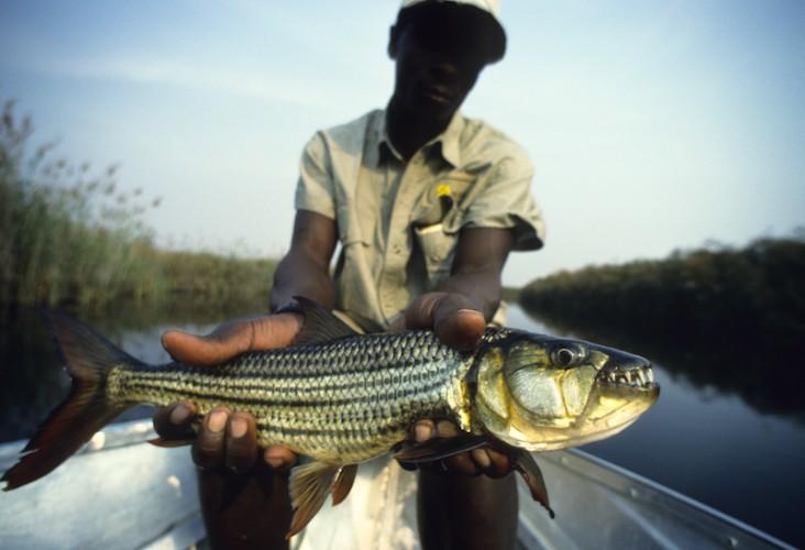 Tiger Fish ,Okavango Delta, Botswana