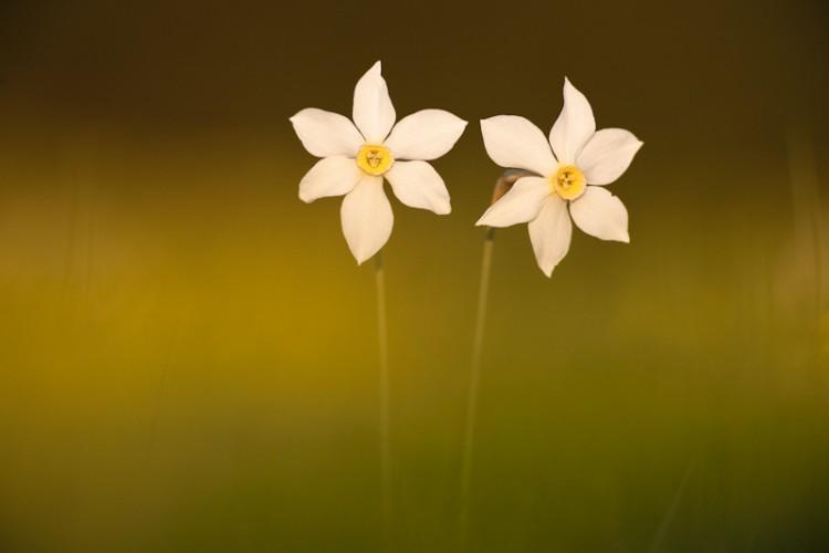 Narcisus radiflorus, Carso, Trieste, Italy