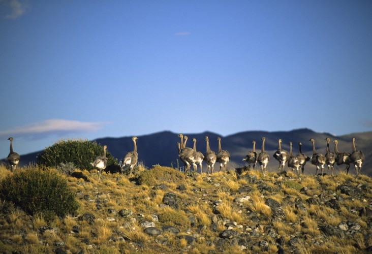 Nursery, Emus, Patagonia, Argentina