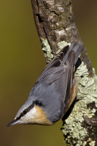 Nuthatch, Carso, Italy