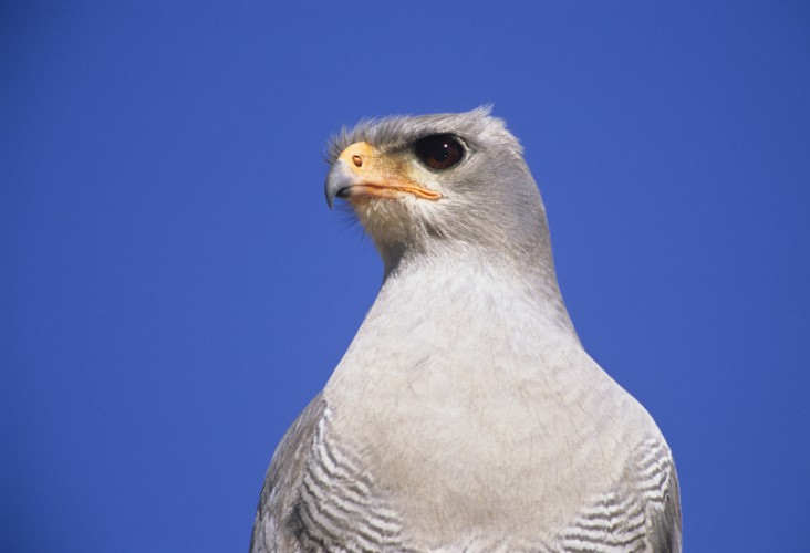 Raptor Eye, Gabar Goshawk, Kgalagadi T.P., South Africa