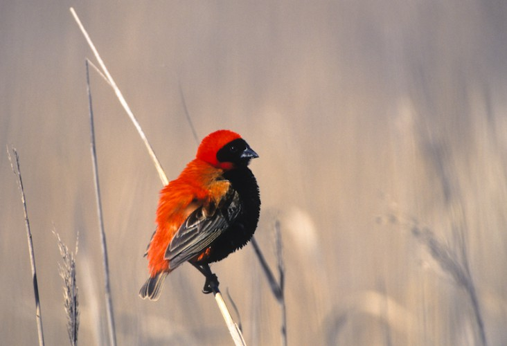 Red Bishop, West Coast N.P., South Africa