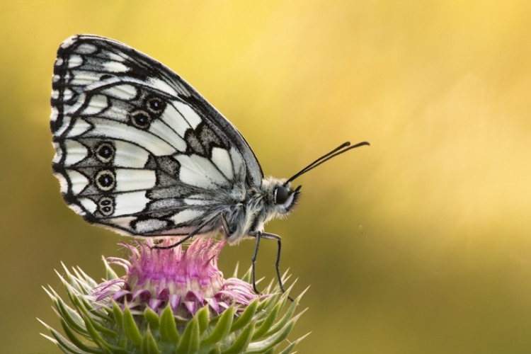 Resting Butterfly, Carso, Trieste, Italy