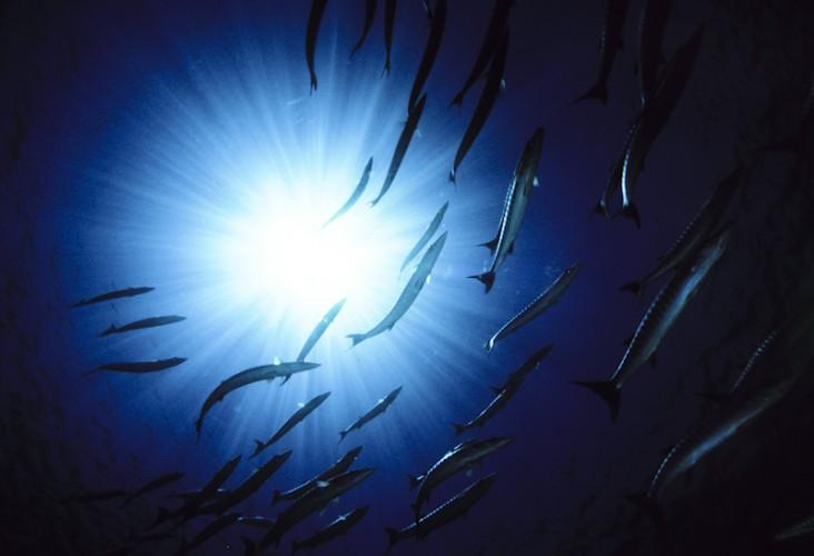 Barracudas, Sanganeb Reef, Sudan Red Sea