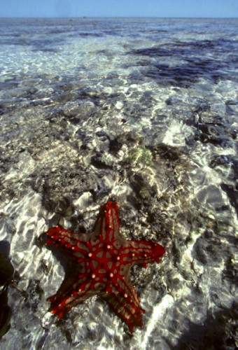 Sea Star, Manado, Indonesia