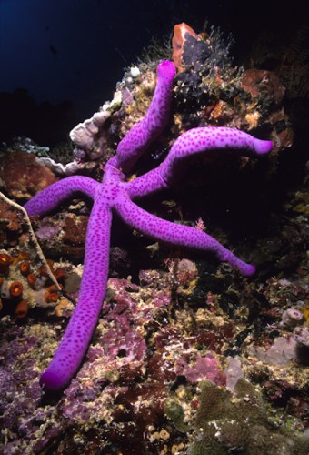 Sea Star, Manado, Indonesia