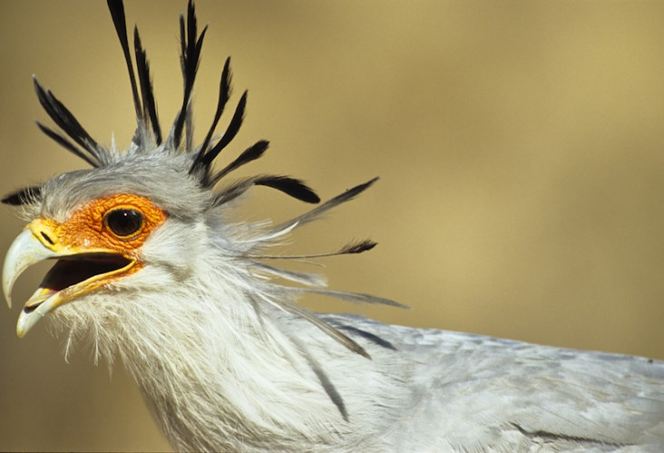 Secretary Bird, Kgalagadi T.P., South Africa