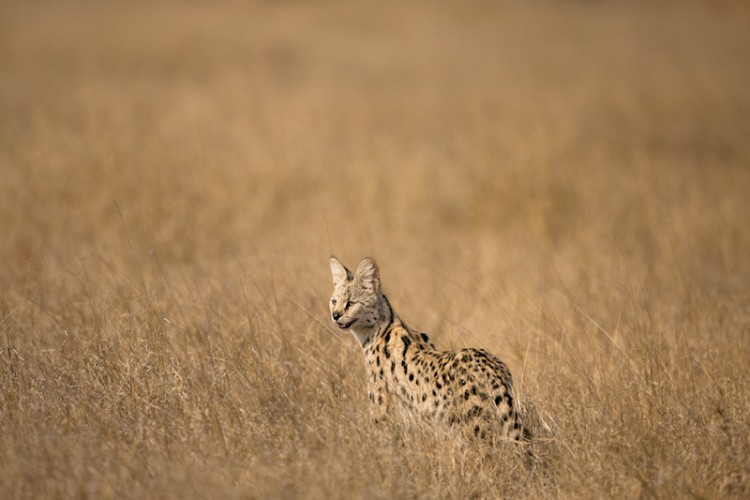 Serval, Savuti, Botswana