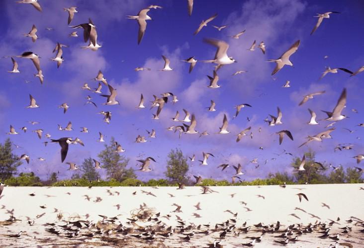 Sooty Terns, Bird Island, Seychelles