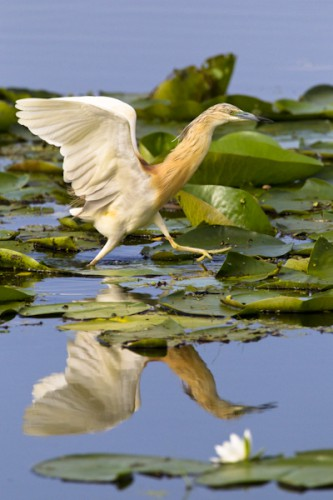 Squacco Heron, Lake Kerkini, Greece
