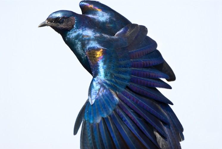 Starling, Kruger Park, South Africa