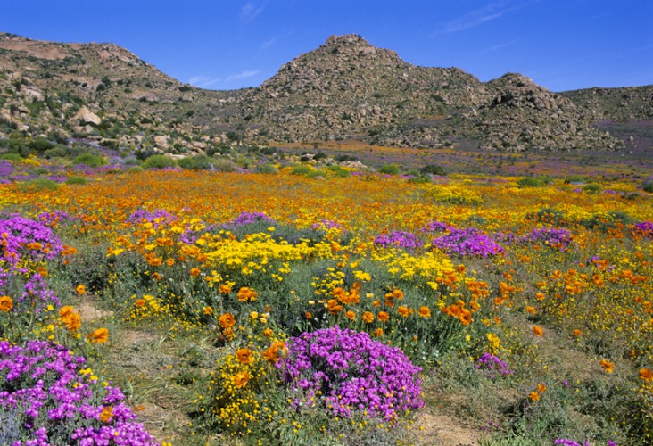 Spring in the Desert, Namaqualand, South Africa