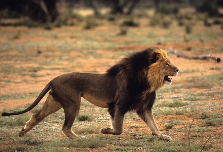 The King of Kalahari, Lion, South Africa