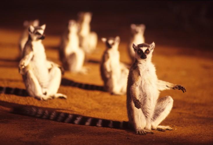 The Sundowners, Lemur catta, Madagascar, Indian Ocean