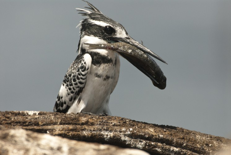 Too Big, Pied Kingfisher, Chobe River, Botswana