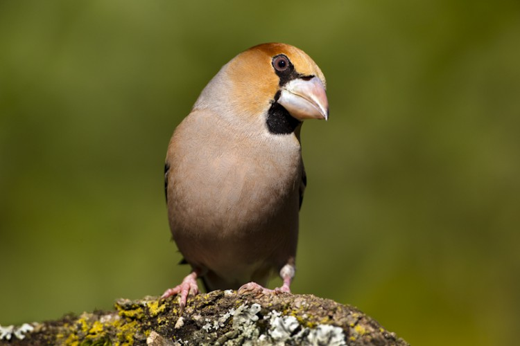 Watchful eye, Hawfinch, Carso, Italy