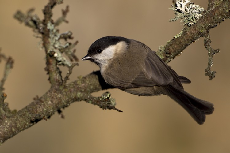 Willow Tit, Carso, Italy