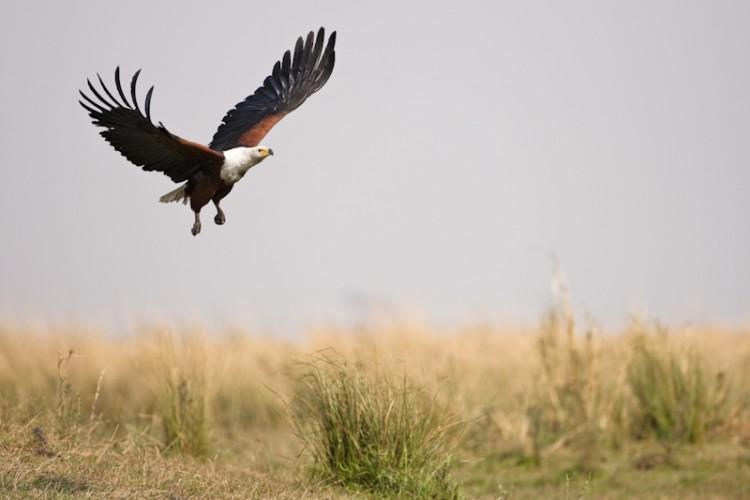 African Fish Eagle, Chobe River, Botswana