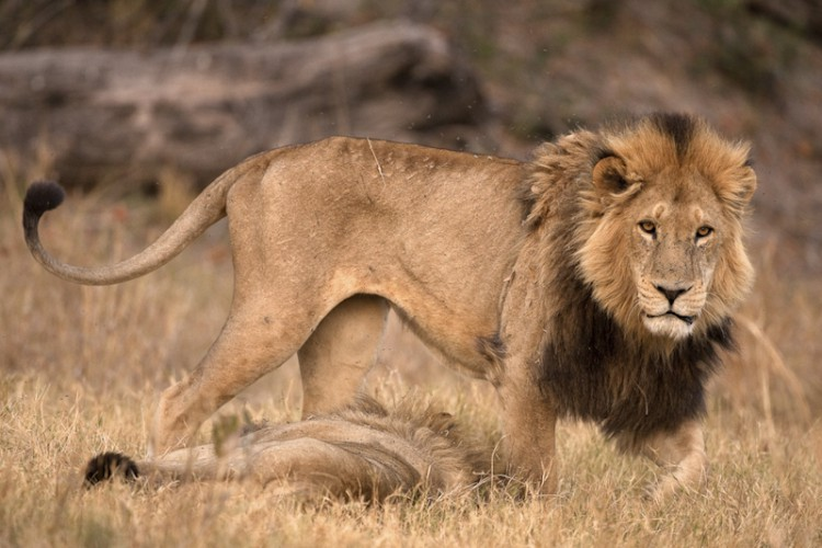 Young Male Lion, Savuti, Botswana