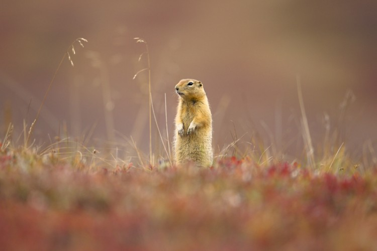 Curios-Arctic Ground Squirrel-Denali N.P.-Alaska