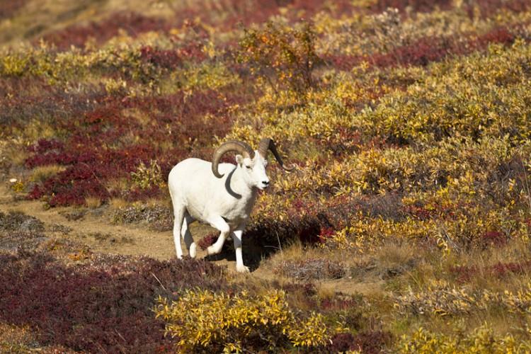 Dall Sheep-Denali N.P.-Alaska