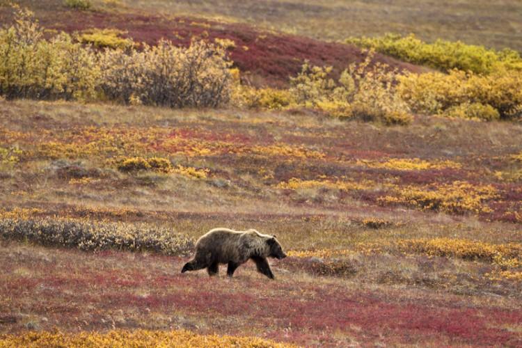The Wanderer-Grizzly Bear-Denali N.P.-Alaska