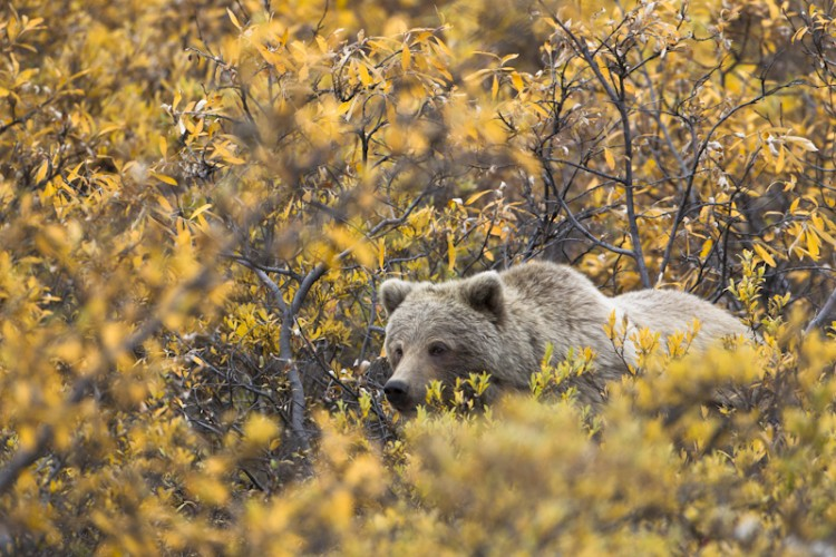 Grizzly Bear-Denali N.P.-Alaska
