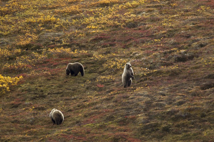 Bearwatch-Grizzly Bears-Denali N.P.-Alaska