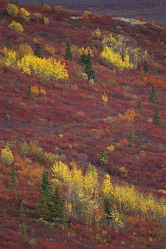 Natural Beauty-Alaskan Fall colors