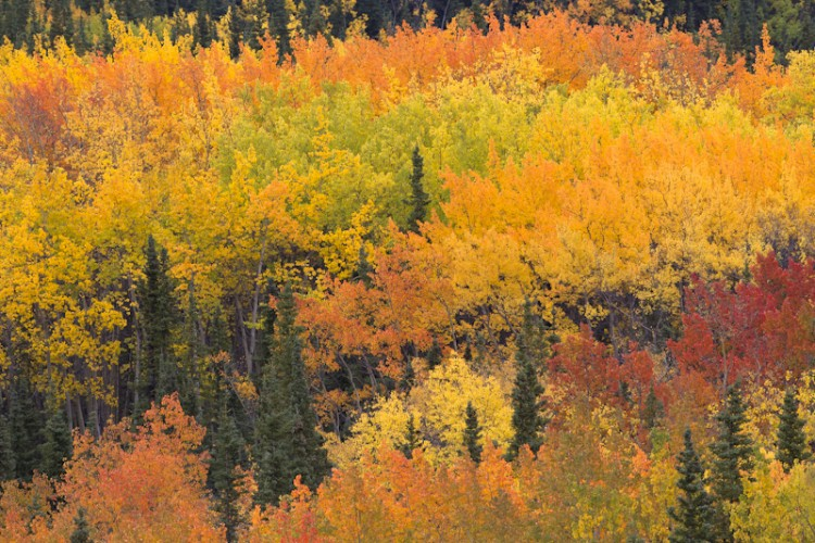 Aspens and Maples-Riley Creek-Alaska