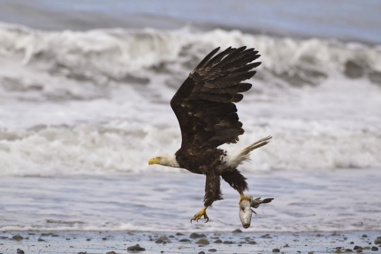 Bald Eagle-Homer-Alaska
