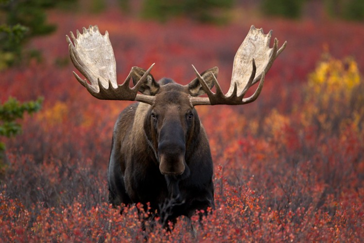 Alaskan Bull Moose-Denali N.P.-Alaska