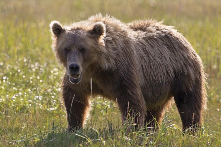 Alaskan Brown Bear-Katmai N.P.-Alaska