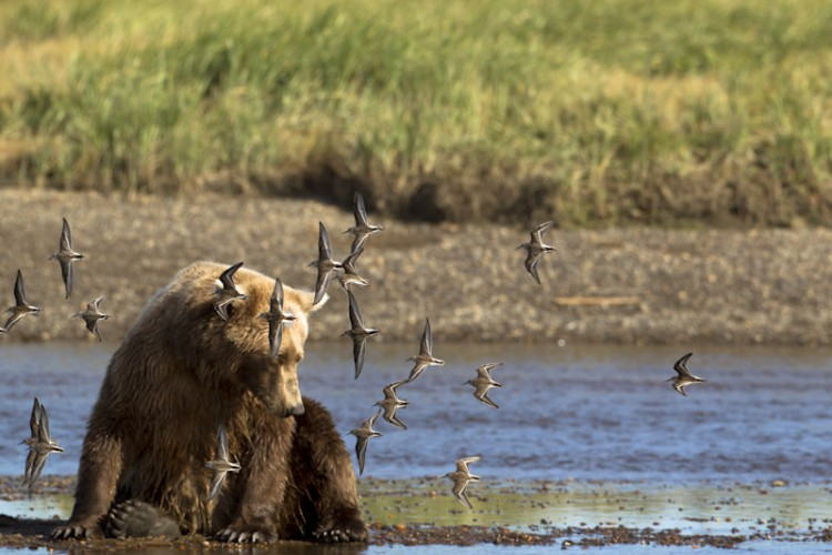 Sanderlings and Brown Bear-Katmai N.P.- Alaska