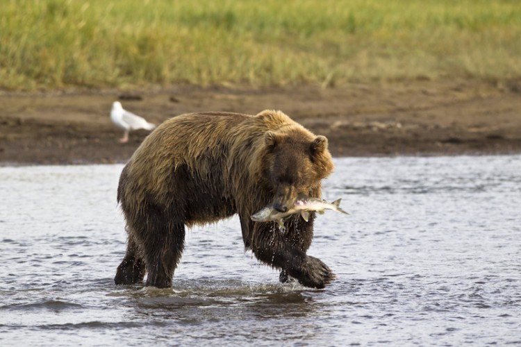 Last catch,Alaskan brown bear with pink salmon-Katmai N.P.-Alaska