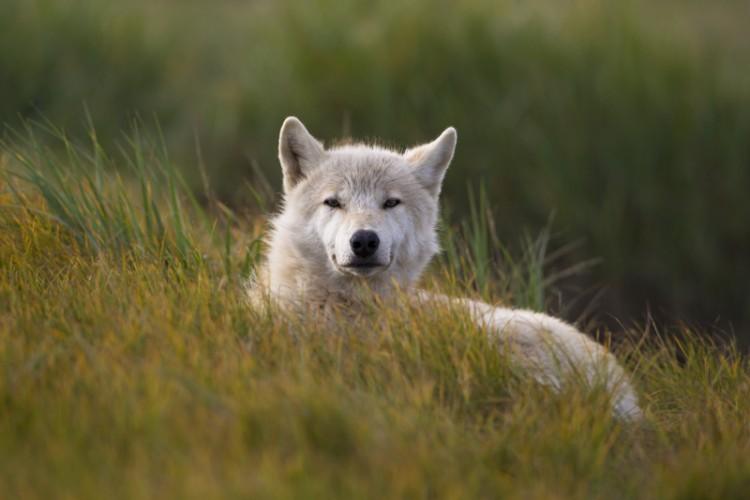 Spirit of Katmai, White Wolf- Katmai N.P.-Alaska